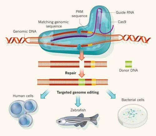 CAS9-Genome-Editing