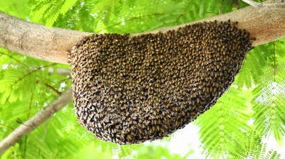 stock-footage--honeycomb-with-bee-on-green-tree